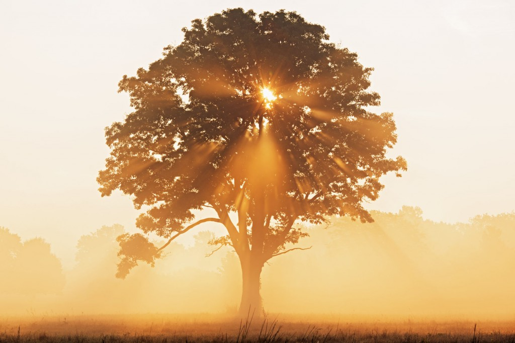 sun burst through oak tree at sunrise with mist