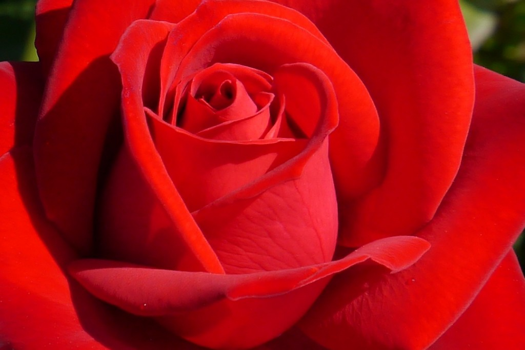 Beautiful-red-rose-from-the-UBC-Rose-Garden-in-Vancouver-BC-Version-3