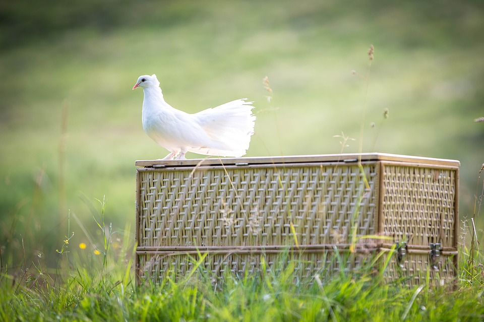 white-dove-1524483_960_720