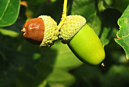How to Have Acorns