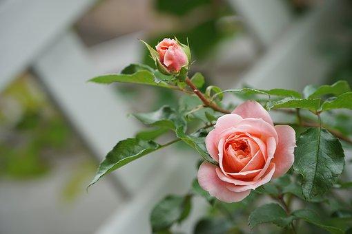 Rose Garden Gladness
